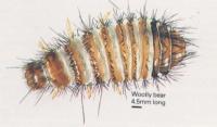 Beetles Black Carpet Beetle Woolly Bear Carpet Beetle